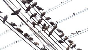 ハトの群れ・鳥害対策